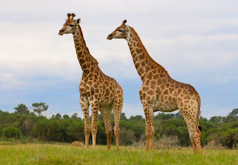 Δύο Giraffes στοκ φωτογραφία με δικαίωμα ελεύθερης χρήσης