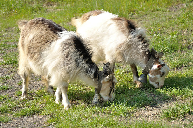 Δύο goatlings με τα κουδούνια στοκ φωτογραφία με δικαίωμα ελεύθερης χρήσης