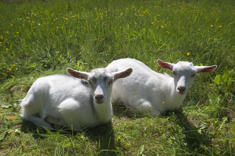 Δύο goatlings που βρίσκονται στη χλόη στοκ εικόνες