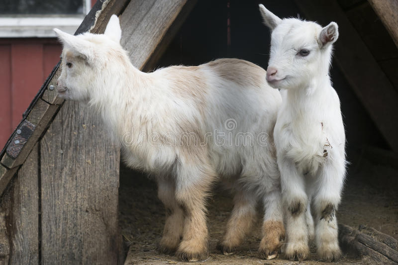 Δύο goatlings σε ένα αγρόκτημα στοκ φωτογραφίες