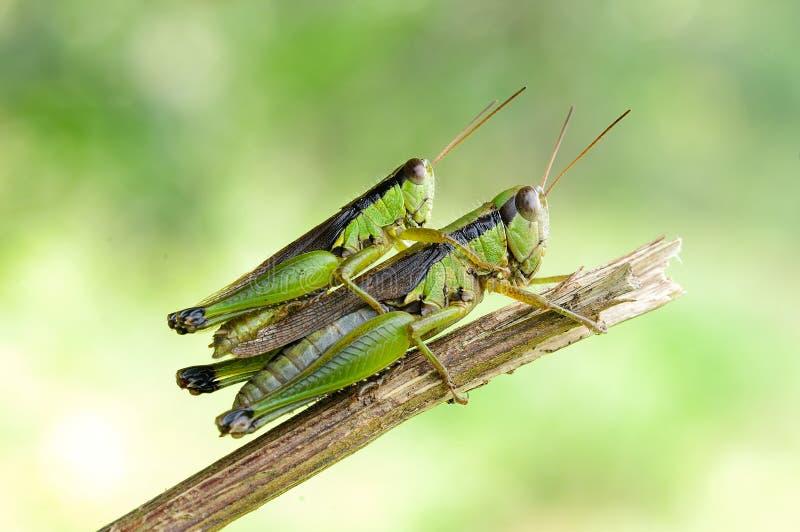 Δύο grasshoppers στοκ φωτογραφίες με δικαίωμα ελεύθερης χρήσης