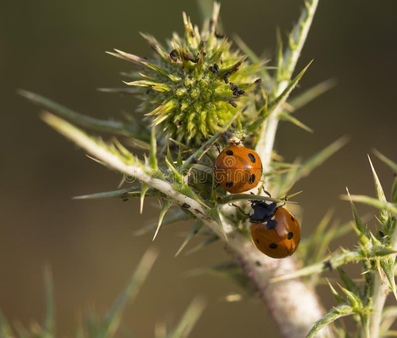 Δύο Ladybugs σε ένα αγκάθι στοκ εικόνες με δικαίωμα ελεύθερης χρήσης