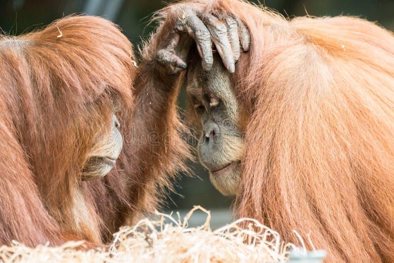 Δύο Orangutans αφή μεταξύ τους στο πρόσωπο στοκ εικόνα