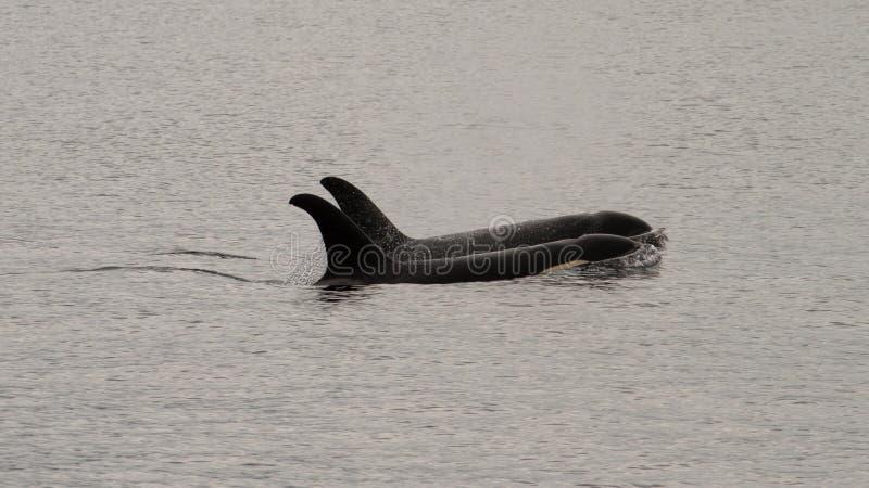 Δύο orcas που κολυμπούν ομόφωνα στοκ φωτογραφίες
