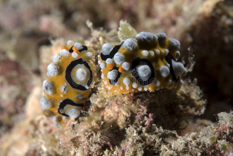 Δύο Phyllidia Oceletta γυμνοσάλιαγκας θάλασσας στην υποβρύχια σκηνή κοραλλιογενών υφάλων στοκ εικόνες με δικαίωμα ελεύθερης χρήσης