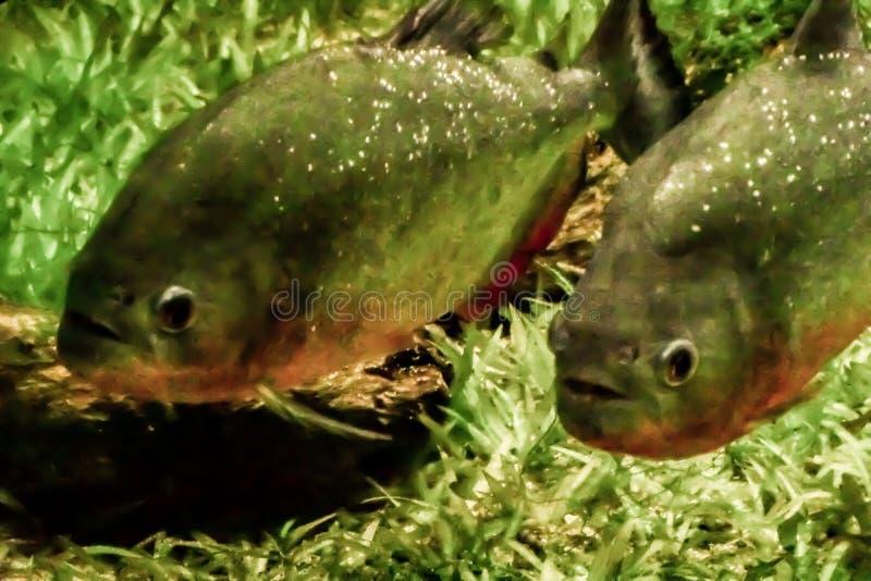Δύο Piranhas που κρύβονται σε μια δεξαμενή ψαριών στοκ φωτογραφία