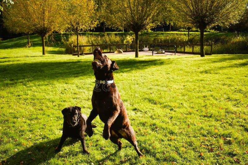 Δύο retrievers του Λαμπραντόρ που παίζουν στο πάρκο στοκ εικόνες με δικαίωμα ελεύθερης χρήσης