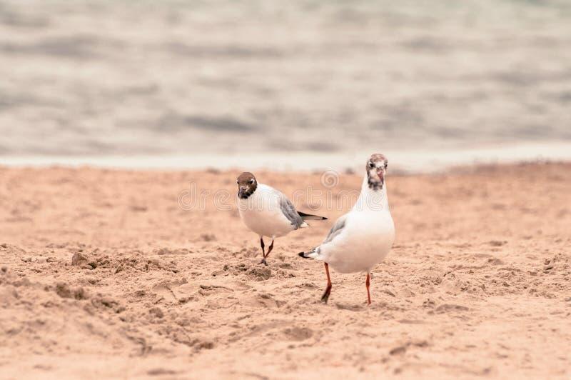 Δύο seagulls που περπατούν στην άμμο στην παραλία στοκ εικόνες
