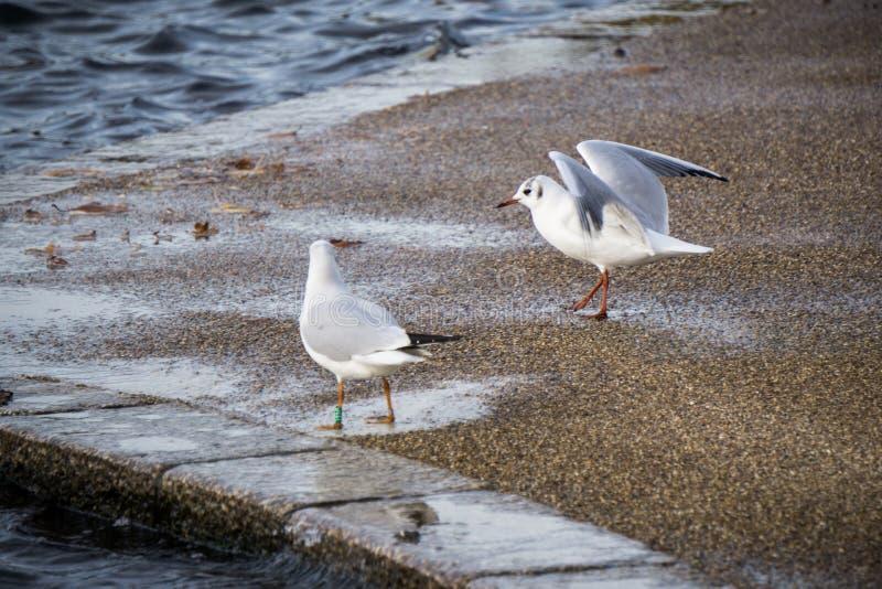 Δύο seagulls στην άκρη της λίμνης στοκ φωτογραφίες