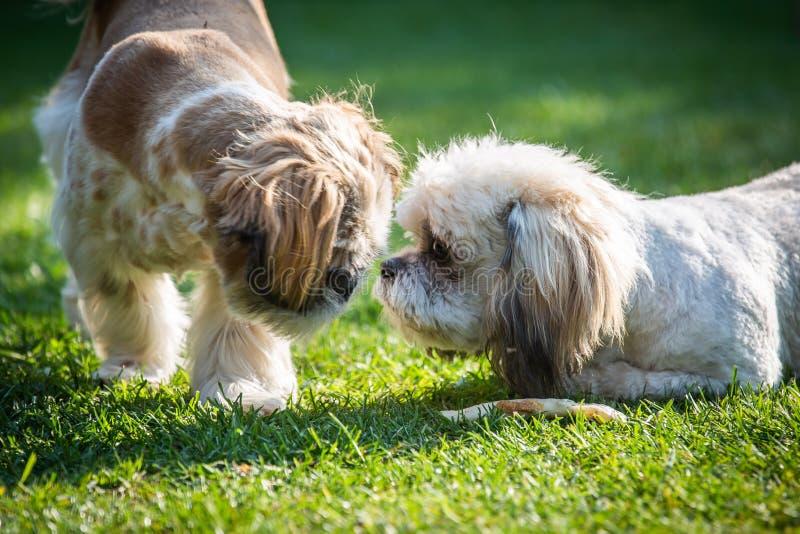 Δύο Shitzu puppys που παίζουν στον κήπο στοκ φωτογραφία