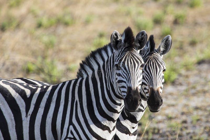 Δύο zebras δίπλα-δίπλα στη Μποτσουάνα στοκ φωτογραφία