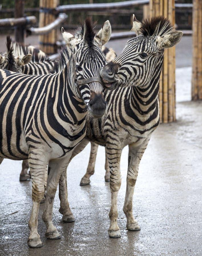 δύο zebras Μια οικογένεια της στάσης zebras δίπλα-δίπλα Κινηματογράφηση σε πρώτο πλάνο Zebras αφρικανικό με ραβδώσεις στοκ εικόνες