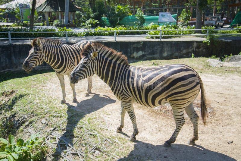 Δύο zebras περπατούν το ζωολογικό κήπο στην Ταϊλάνδη στοκ φωτογραφία