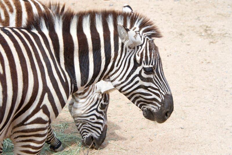 Δύο zebras που τρώνε το σανό από το σκονισμένο έδαφος στοκ φωτογραφία με δικαίωμα ελεύθερης χρήσης