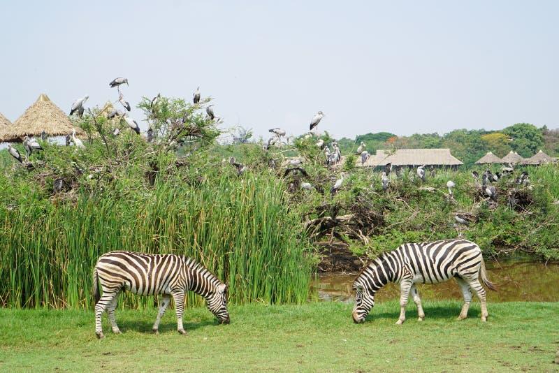 Δύο Zebras στον κόσμο σαφάρι στοκ φωτογραφία
