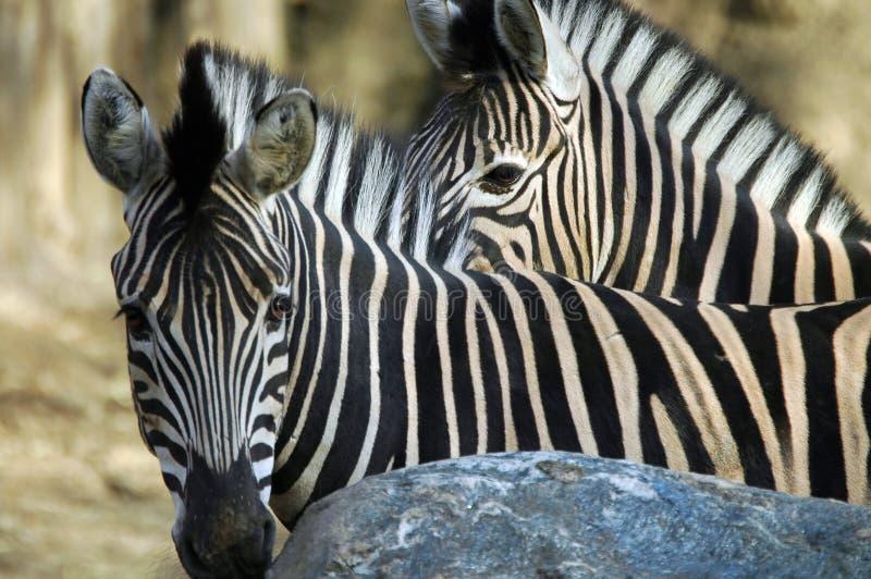 Download δύο zebras στοκ εικόνες. εικόνα από αφρικανικά, λωρίδες - 57630