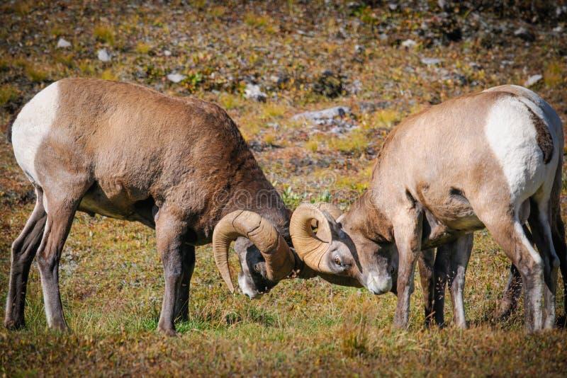 Δύσκολα πρόβατα Bighorn βουνών (canadensis Ovis) στοκ φωτογραφία