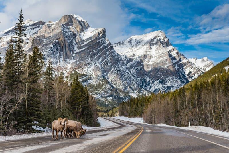 Δύσκολο canadensis Ovis προβάτων Bighorn βουνών στοκ εικόνα με δικαίωμα ελεύθερης χρήσης