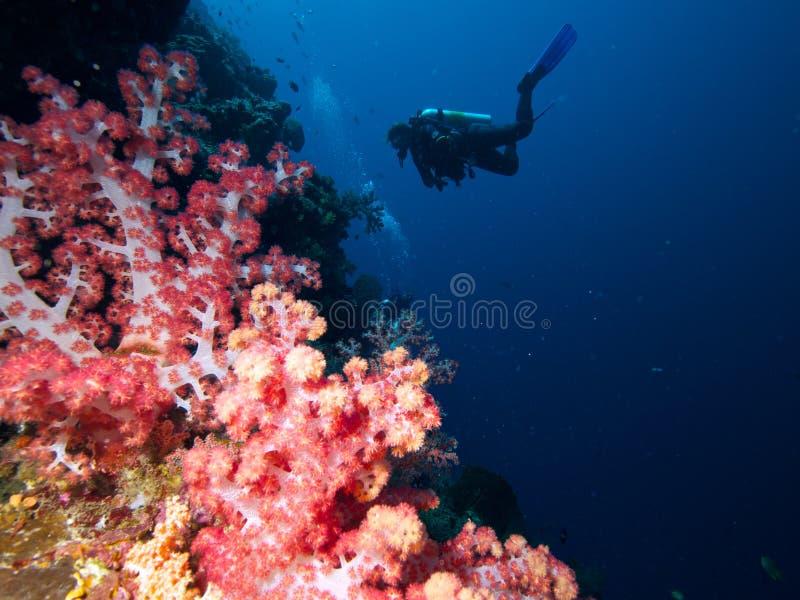 Δύτες στον τοίχο του μαλακός-κοραλλιού στοκ φωτογραφία