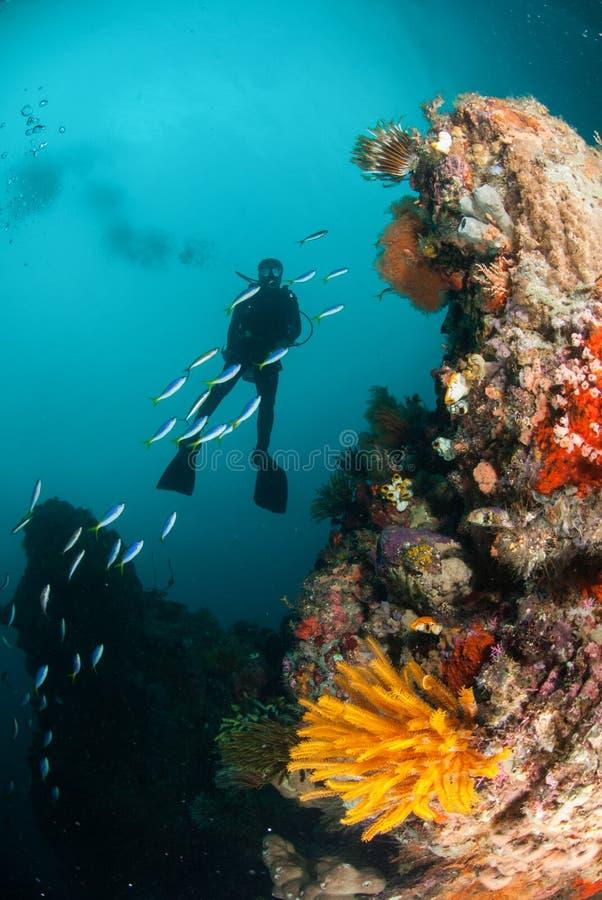 Δύτης, αστέρι φτερών, κοραλλιογενής ύφαλος σε Ambon, Maluku, υποβρύχια φωτογραφία της Ινδονησίας στοκ εικόνες