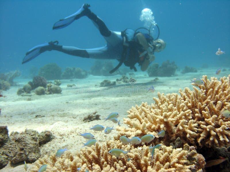 δύτης κοραλλιών κλάδων στοκ φωτογραφίες