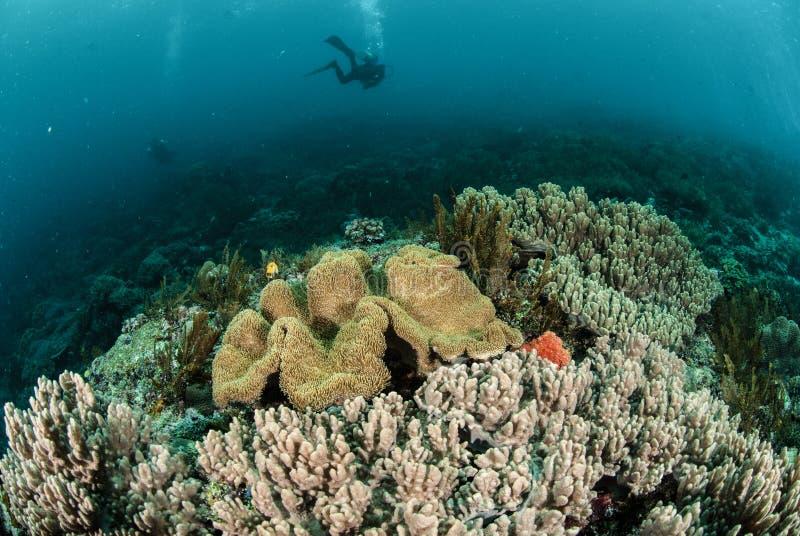 Δύτης, κοραλλιογενής ύφαλος, κοράλλι δέρματος μανιταριών σε Ambon, Maluku, υποβρύχια φωτογραφία της Ινδονησίας στοκ εικόνες