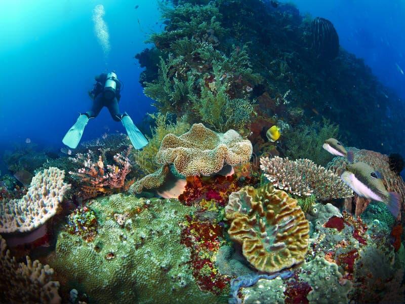 Δύτης σκαφάνδρων με το κοράλλι στοκ φωτογραφία