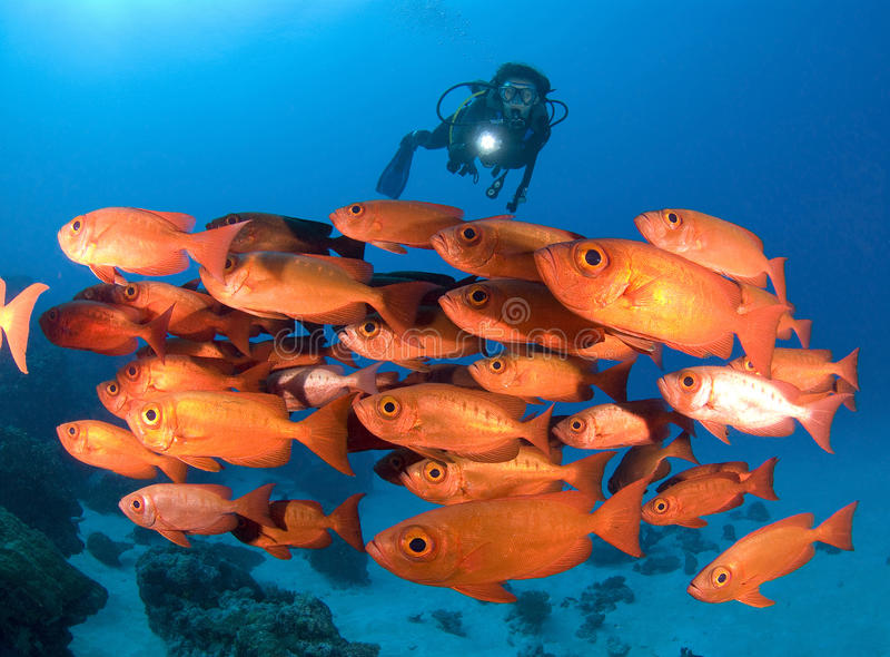 Δύτης ΣΚΑΦΑΝΔΡΩΝ ένα shool των φωτεινών κόκκινων ψαριών στοκ φωτογραφία