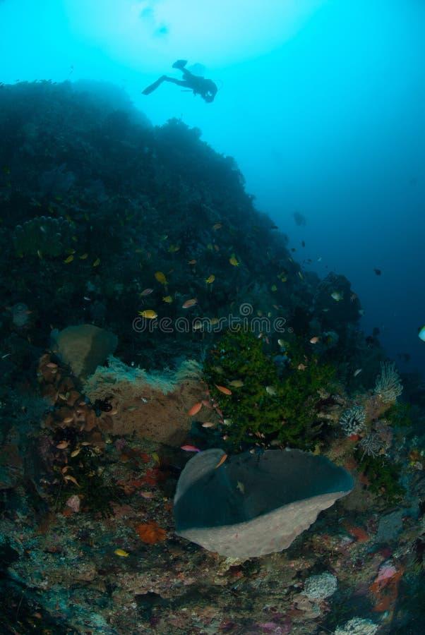 Δύτης, σφουγγάρια, μαύρο κοράλλι ήλιων σε Ambon, Maluku, υποβρύχια φωτογραφία της Ινδονησίας στοκ φωτογραφία με δικαίωμα ελεύθερης χρήσης