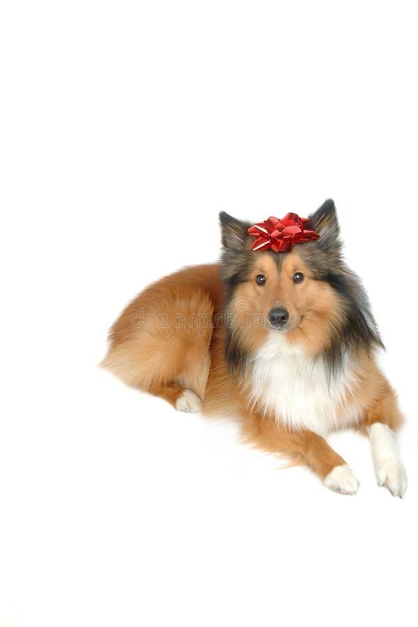 Download δώρο σκυλιών Χριστουγένν&o στοκ εικόνες. εικόνα από φθορά - 395590