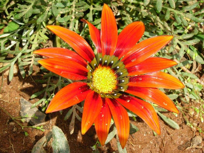 Δώστε την αγάπη σας με ένα φωτεινό λουλούδι στοκ φωτογραφία με δικαίωμα ελεύθερης χρήσης
