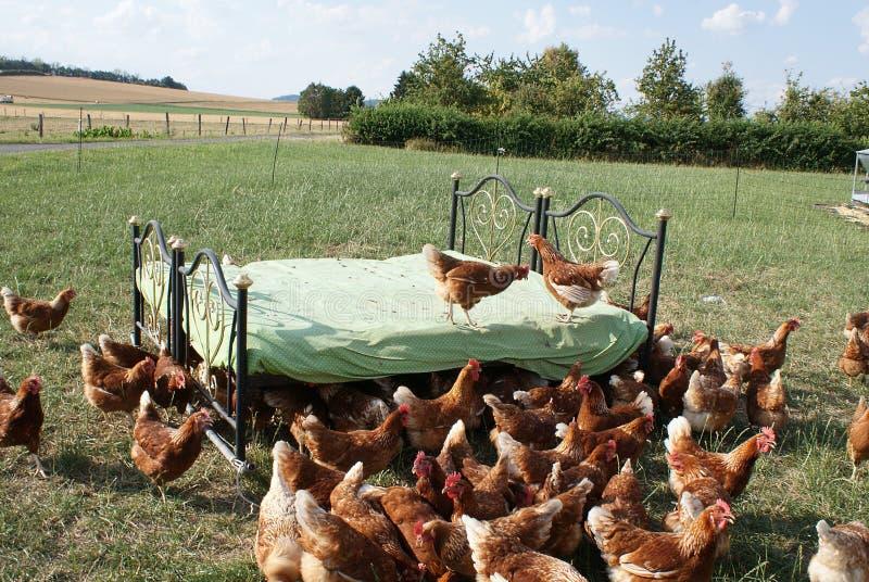 Εάν τα δύο κοτόπουλα στο κακάρισμα κρεβατιών κοτόπουλου σε μια συνεδρίαση στοκ φωτογραφίες με δικαίωμα ελεύθερης χρήσης
