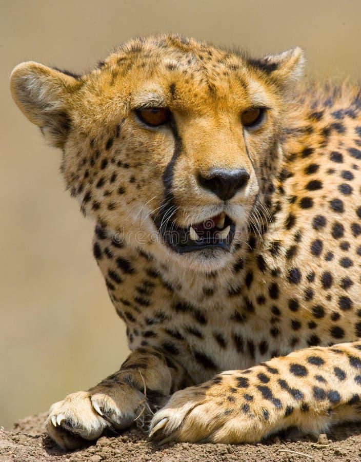 είδη πορτρέτου τσιτάχ geppard Κινηματογράφηση σε πρώτο πλάνο Κένυα Τανζανία Αφρική Εθνικό πάρκο serengeti Maasai Mara στοκ εικόνες