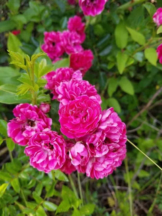 Εγγενές ροζ στοκ εικόνες