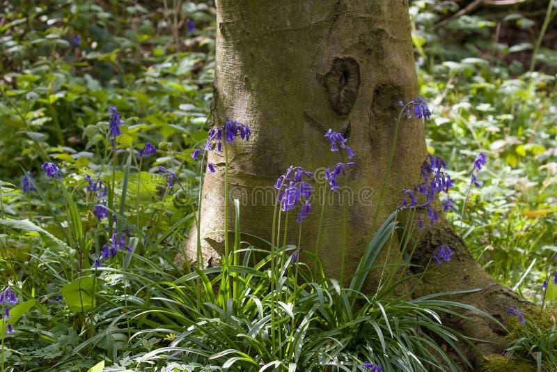 Εγγενή αγγλικά Bluebells και δέντρο στοκ εικόνες