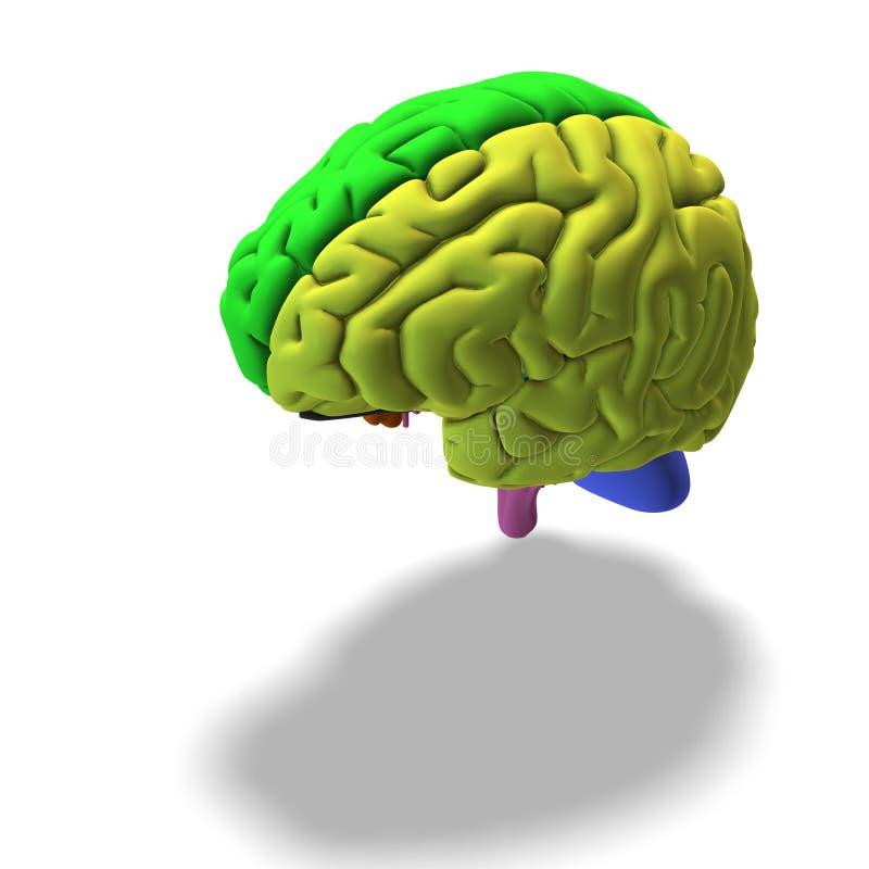 εγκέφαλος που χρωματίζ&epsi ελεύθερη απεικόνιση δικαιώματος