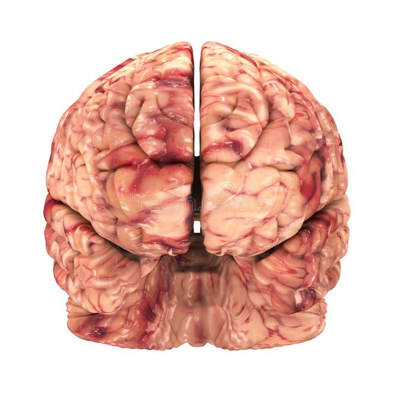 Εγκέφαλος ανατομίας - μπροστινή άποψη που απομονώνεται ελεύθερη απεικόνιση δικαιώματος