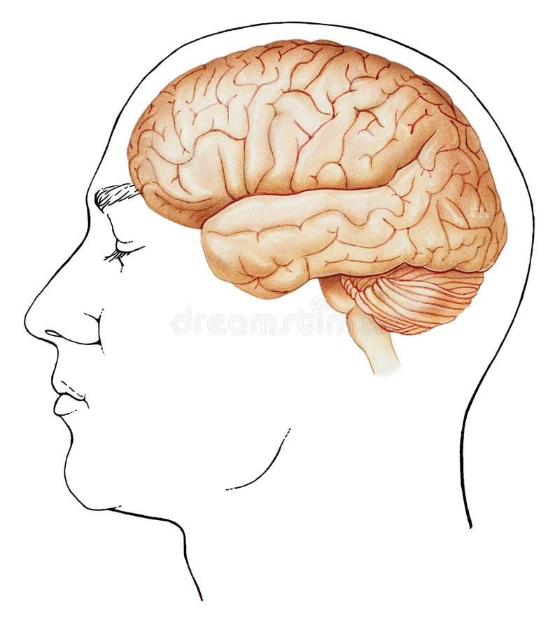 Εγκέφαλος - κατά την πλάγια όψη πλαισίου απεικόνιση αποθεμάτων