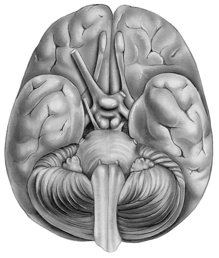 Εγκέφαλος - κατώτατη άποψη απεικόνιση αποθεμάτων
