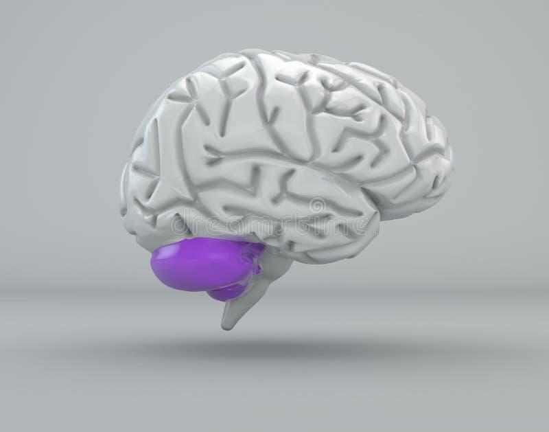 Εγκέφαλος, παρεγκεφαλίδα, τμήμα απεικόνιση αποθεμάτων