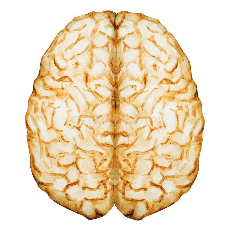 Εγκέφαλος Watercolor διανυσματική απεικόνιση