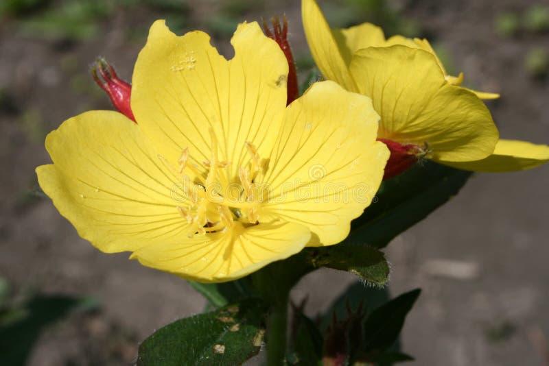 Εγκαταστάσεις, ένα λουλούδι είναι κίτρινες στοκ φωτογραφία με δικαίωμα ελεύθερης χρήσης