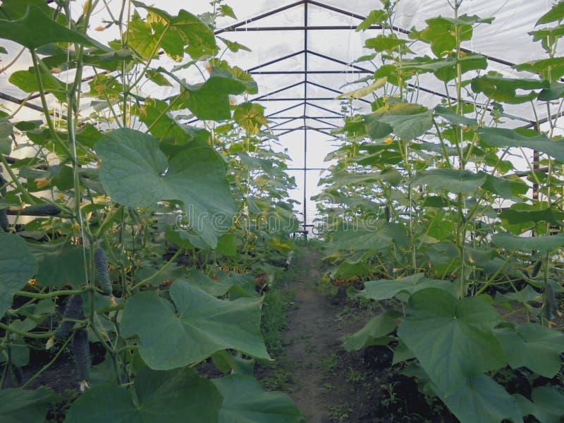 Εγκαταστάσεις αγγουριών με τα φρούτα που αυξάνονται στο θερμοκήπιο στην περιοχή στοκ εικόνες