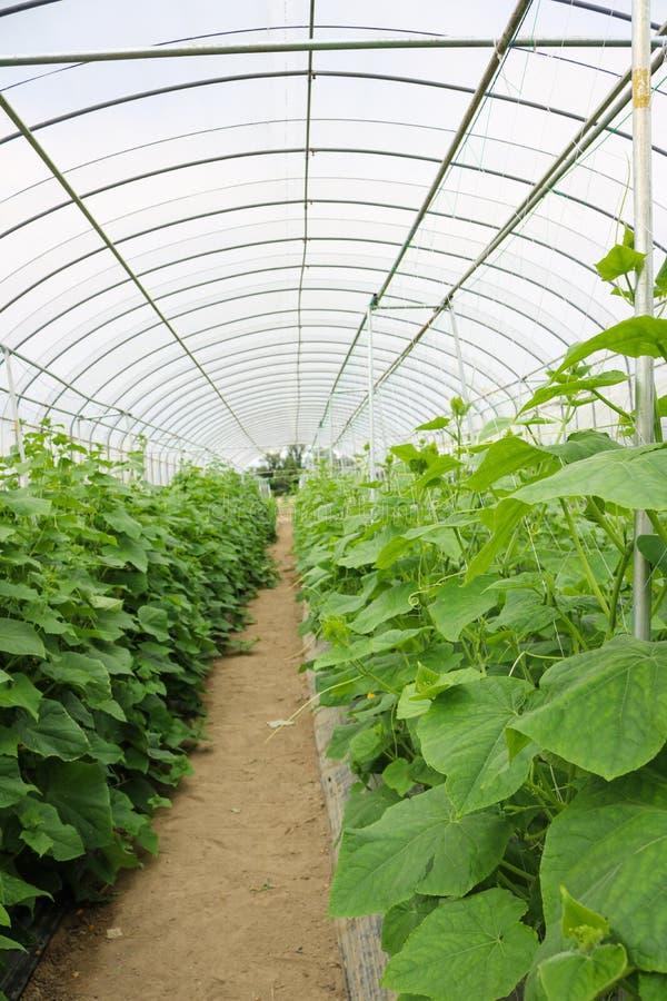 Εγκαταστάσεις αγγουριών που αυξάνονται το εσωτερικό θερμοκήπιο στο αγρόκτημα στοκ εικόνα με δικαίωμα ελεύθερης χρήσης