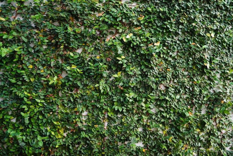 Εγκαταστάσεις αναρριχητικών φυτών στον τοίχο στοκ εικόνα