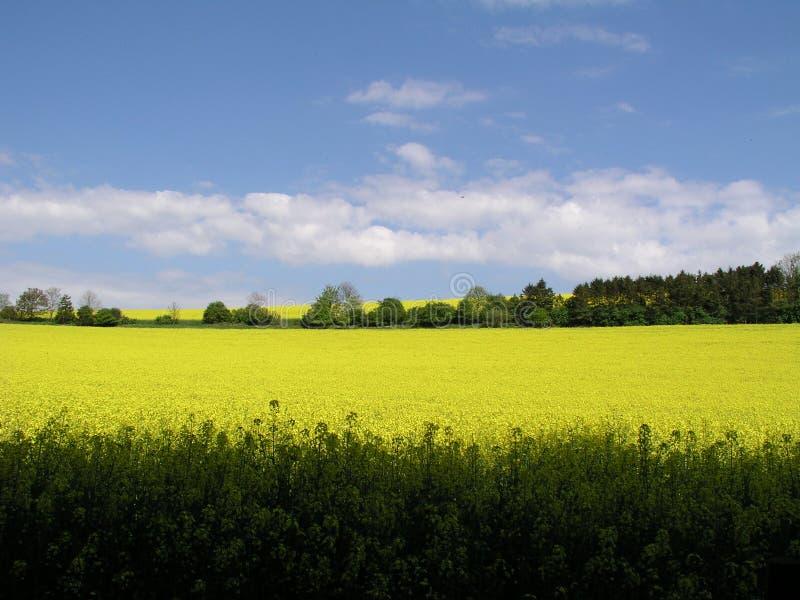 Εγκαταστάσεις βιασμών λινόσπορου, κοιλάδα Kingley, Σάσσεξ, Αγγλία στοκ φωτογραφία με δικαίωμα ελεύθερης χρήσης