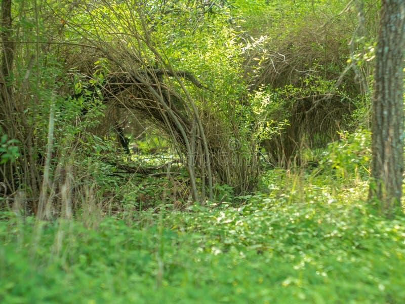 Εγκαταστάσεις βουρτσών σε ένα πολύβλαστο πράσινο δάσος, που αυξάνεται σε μια αψίδα έτσι ώστε οι άκρες αγγίζουν το έδαφος στοκ φωτογραφία με δικαίωμα ελεύθερης χρήσης