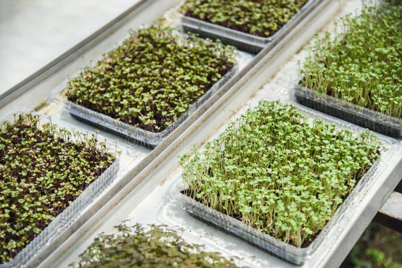 Εγκαταστάσεις βρεφικών σταθμών στο δοχείο - νέα πράσινη ανάπτυξη σαλάτας μαρουλιού σποροφύτων στο φυτικό αγρόκτημα στοκ εικόνα