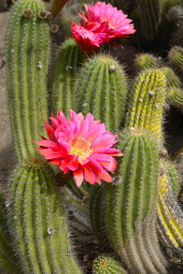 Εγκαταστάσεις ερήμων κάκτων με τα ανθίζοντας κόκκινα λουλούδια στοκ εικόνες με δικαίωμα ελεύθερης χρήσης
