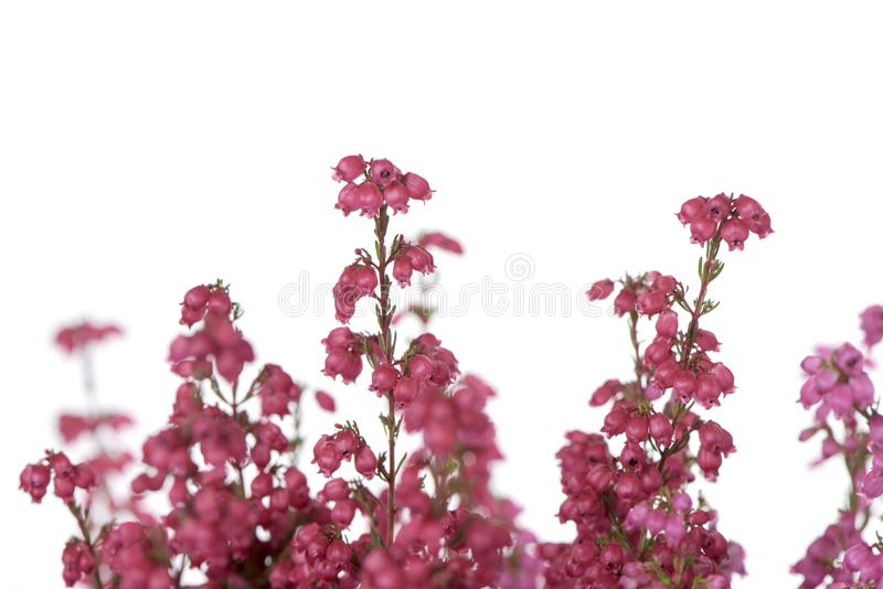 Εγκαταστάσεις ερείκης κουδουνιών με τα ρόδινα λουλούδια στοκ εικόνα